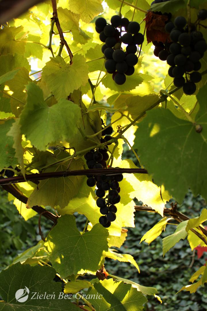 Winorośl porastająca altanę.