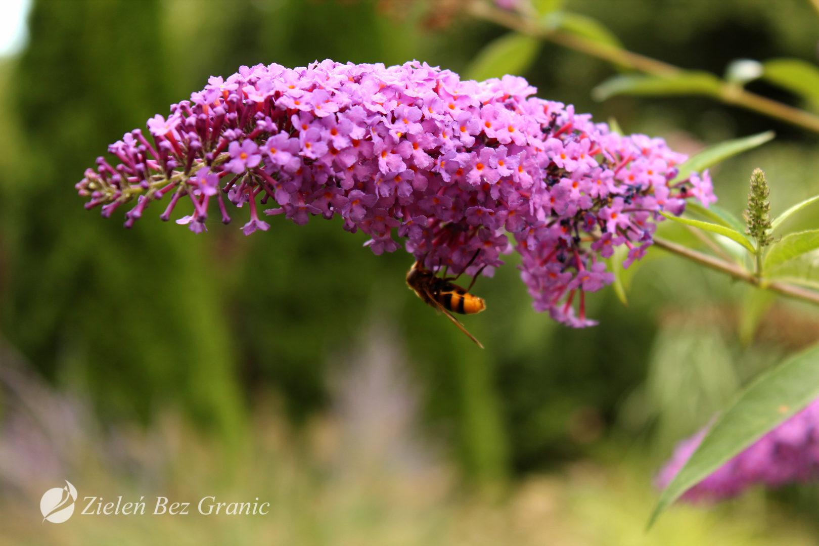 Kwiat Budlei
